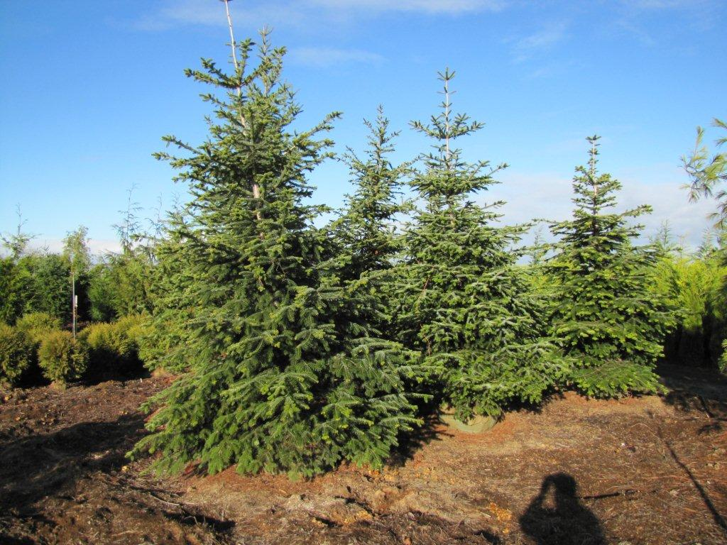 Norman fir wholesale