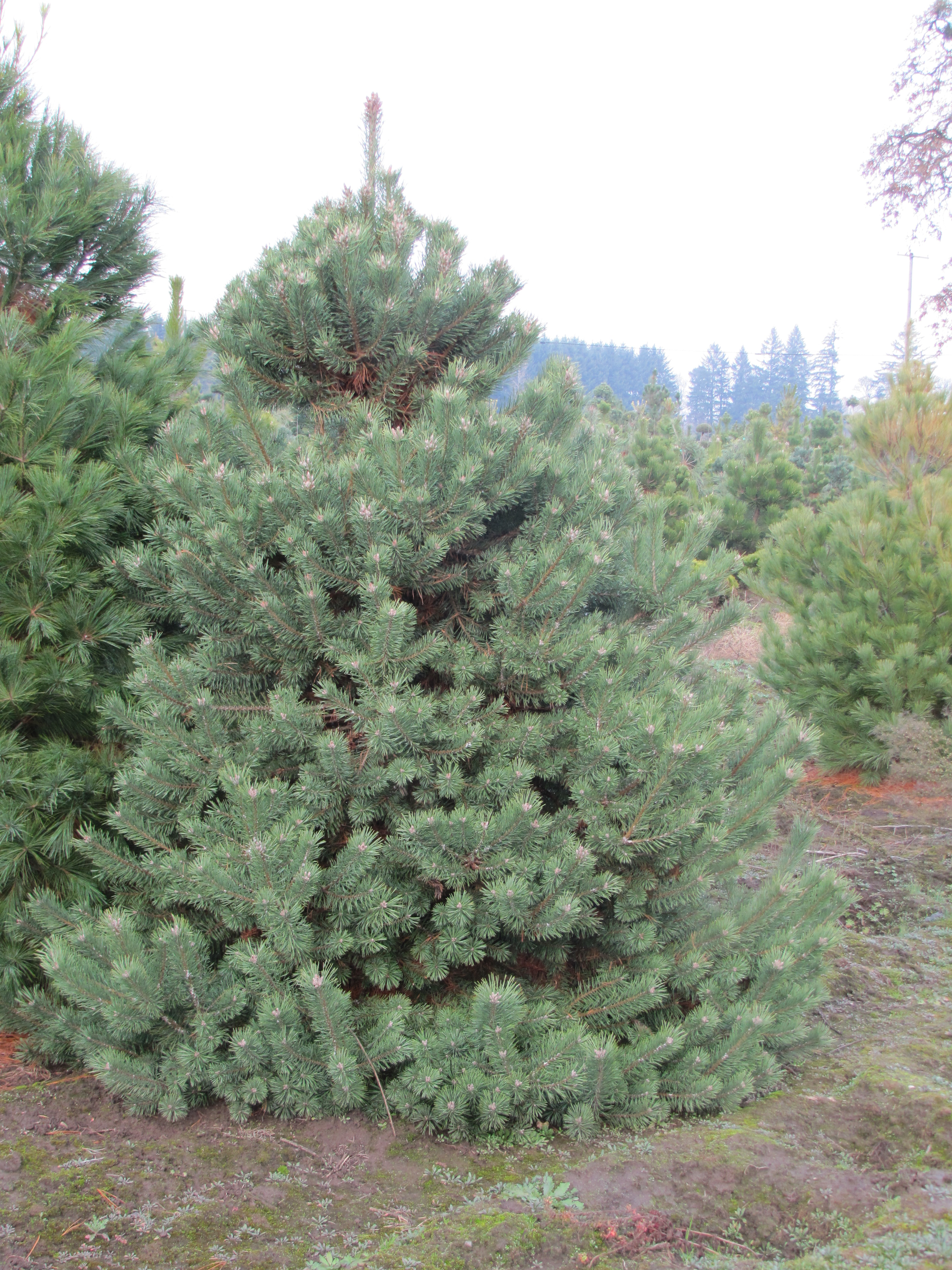 Fraser fir wholesale