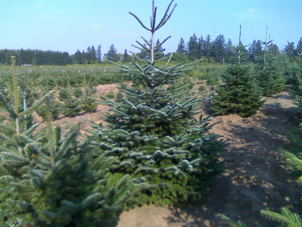 Turkish fir wholesale